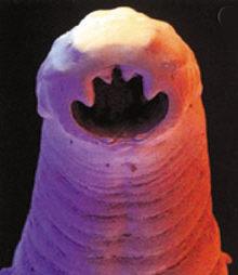 Der Honig das Präparat von den Würmern